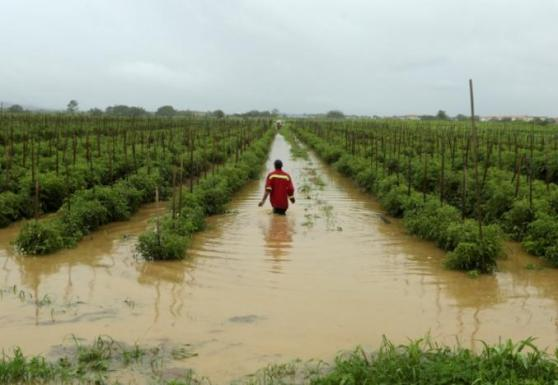 A man wades through a flooded tomato field in the aftermath of tropical storm Bret, in Oropune
